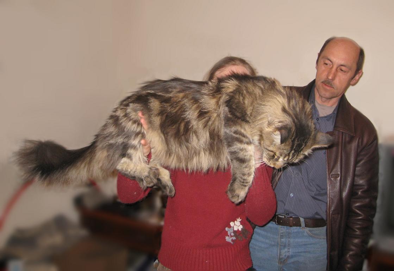 ... мейн кунов (лучшие котята мэйн кун: www.russiancoon.ru/page.php?lang=_r&menuactive=8&allphotoshow=3&gal...